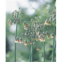 Allium bulgaricum (25 bulbs per pkg - ships Oct thru Jan)