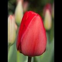 Tulip Darwin Hybrid Parade (10 bulbs per pkg - Ships Oct thru Jan)
