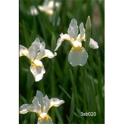 Iris sibirica 'Snow Queen' (5 plants per pkg - Ships Oct thru June)