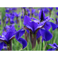 Iris sibirica bulk 'Caesar's Brother' (½ BU - Ships Oct thru June)