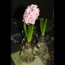 Forcing Vase (1 glass vase per pkg - Ships Oct thru June)