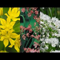 Allium Collection Low Growing  (150 bulbs per collection - ships Oct thru Jan)