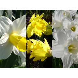 Daffodil Trumpet Collection (60 bulbs per collection - Ships Oct thr