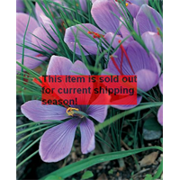*SOLD OUT* Crocus sativus - Fall Saffron Crocus (25 bulbs per pkg - Ships Oct
