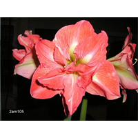 Amaryllis Jumbo Potted Kit - Lady Jane (ships Nov thru Jan)