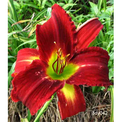 Daylily Breathless Beauty (5 plants per pkg - Ships Oct thru June)