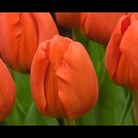Tulip Darwin Hybrid Orange Sun (10 bulbs per pkg - Ships Oct thru Ja