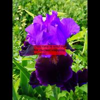 *SOLD OUT* Bearded Iris Purple (3 plants per pkg - Ships Oct thru Jan)