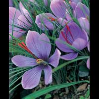 Crocus sativus - Fall Saffron Crocus (25 bulbs per pkg - Ships Oct