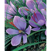 Additional images for Crocus sativus - Fall Saffron Crocus (25 bulbs per pkg - Ships Oct