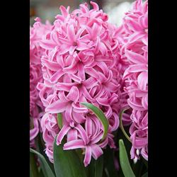Hyacinth Pink Pearl (5 bulbs per pkg - Ships Oct thru Jan)