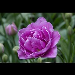 Tulip Double Lilac Perfection (10 bulbs per pkg - Ships Oct thru Jan)