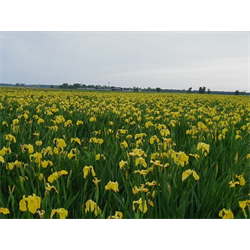 Iris ensata bulk 'Rising Sun'  (½ BU - Ships Oct thru June)