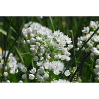 Allium neapolitanum (25 bulbs per pkg - ships Oct thru Jan)
