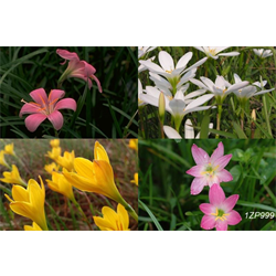 Zephyranthes mixed (25 bulbs per pkg - Ships March thru June)
