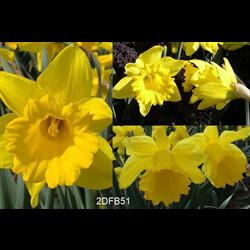 Daffodil bulk Yellow Trumpet Mix  (½ BU - Ships Oct thru Jan)