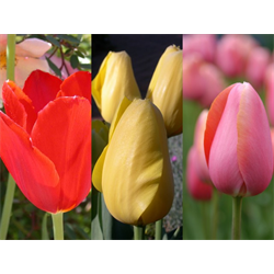 Tulip Single Late Collection (60 bulbs per collection - Ships Oct