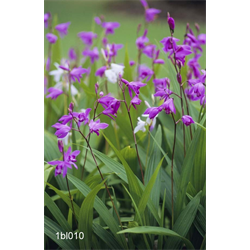 Bletilla striata (3 plants/pkg - Ships March thru June)