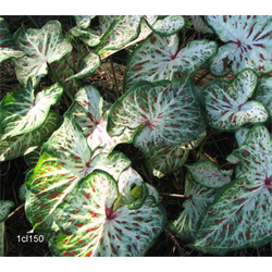 Caladium Dwarf Gingerland (5 bulbs per pkg - Ships March thru June)