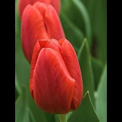 Tulip Triumph Pallada (10 bulbs per pkg - Ships Oct thru Jan)