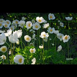 Anemone coronaria The Bride (25 bulbs/pkg - Ships Oct thru June)