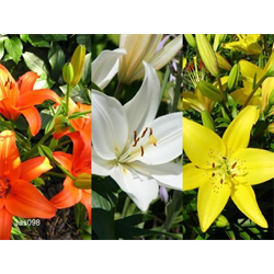 Lily Asiatic Collection (30 bulbs per collection - Ships Oct thru Ju