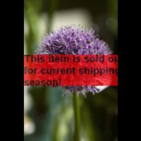 *SOLD OUT* Allium Gladiator (3 bulbs per pkg - ships Oct thru Jan)