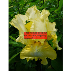 *SOLD OUT* Bearded Iris Yellow (5 plants per pkg - Ships Oct thru Jan)