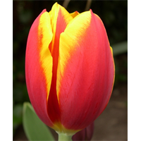 Tulip Triumph Kees Nelis (10 bulbs per pkg - Ships Oct thru Jan)