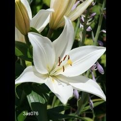 Lily Asiatic White (5 bulbs per pkg - Ships Oct thru June)