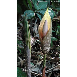 Amorphophallus bulbifer (3 bulbs/pkg - Ships March thru June)