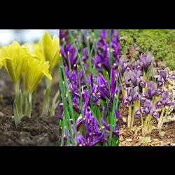Dwarf Iris Collection (75 plants per collection - Ships Oct thru Jan)