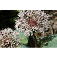 Allium karataviense (10 bulbs per pkg - ships Oct thru Jan)