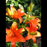 Lily Asiatic Orange (5 bulbs per pkg - Ships Oct thru June)