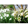 Additional images for Galanthus Collection (60 bulbs per collection - Ships Oct thru Jan)