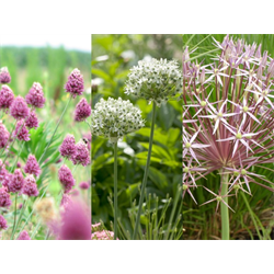Allium Collection Tall Growing  (45 bulbs per collection - ships Oct thru Jan)