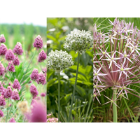 Allium Collection Tall Growing  (45 bulbs per collection - ships Oct thru Jan)
