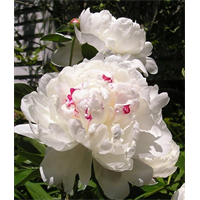 Peony Clump Festiva Maxima (Ships Oct thru Jan)
