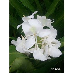 Hedychium coronarium (3 bulbs per pkg - Ships March thru June)