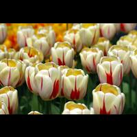 Tulip Single Late World Expression (10 bulbs per pkg - Ships Oct