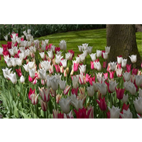 Tulip Lily Flowered Mixture (10 bulbs per pkg - Ships Oct thru Jan)