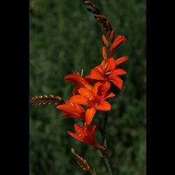 Crocosmia Orange Lucifer (10 bulbs per pkg - Ships march thru June)