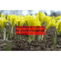 *SOLD OUT* Dwarf Iris danfordiae (25 bulbs per pkg - Ships Oct thru Jan)