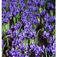 Dwarf Iris reticulata 'Pixie' (25 bulbs per pkg - Ships Oct thru Jan)