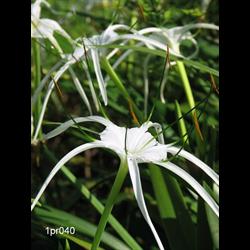 Hymenocallis littoralis (3 bulbs per pkg - Ships March thru June)