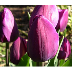 *SOLD OUT* Tulip Triumph Negrita (10 bulbs per pkg - Ships Oct thru Jan)