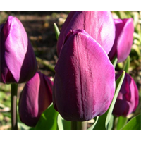 Tulip Triumph Negrita (10 bulbs per pkg - Ships Oct thru Jan)