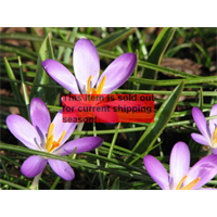*SOLD OUT* Crocus tommasinianus 'Whitewell Purple' (25 bulbs per pkg ships Oct