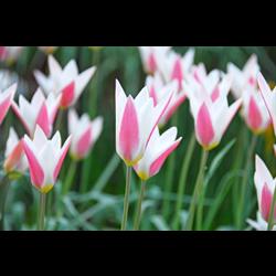 Tulip Lady Jane (10 bulbs per pkg - Ships Oct thru Jan)