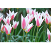 Additional images for Tulip Lady Jane (10 bulbs per pkg - Ships Oct thru Jan)
